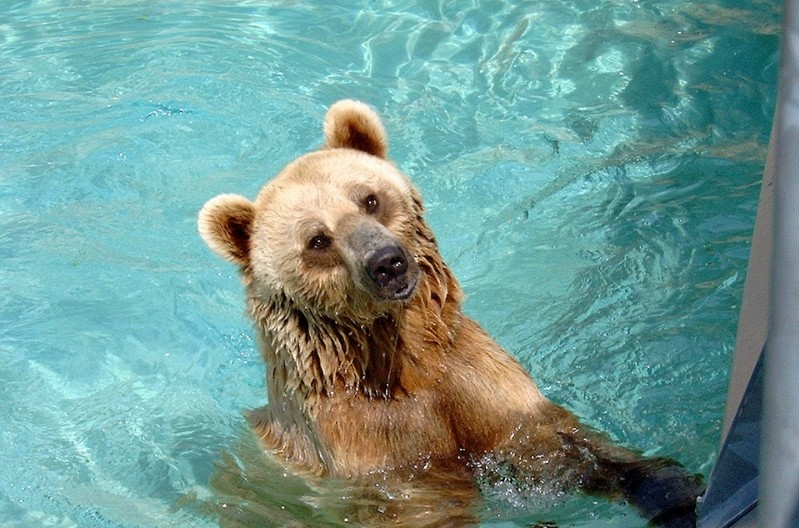 Check Out This Bear Swimming In A Residential Pool in LA