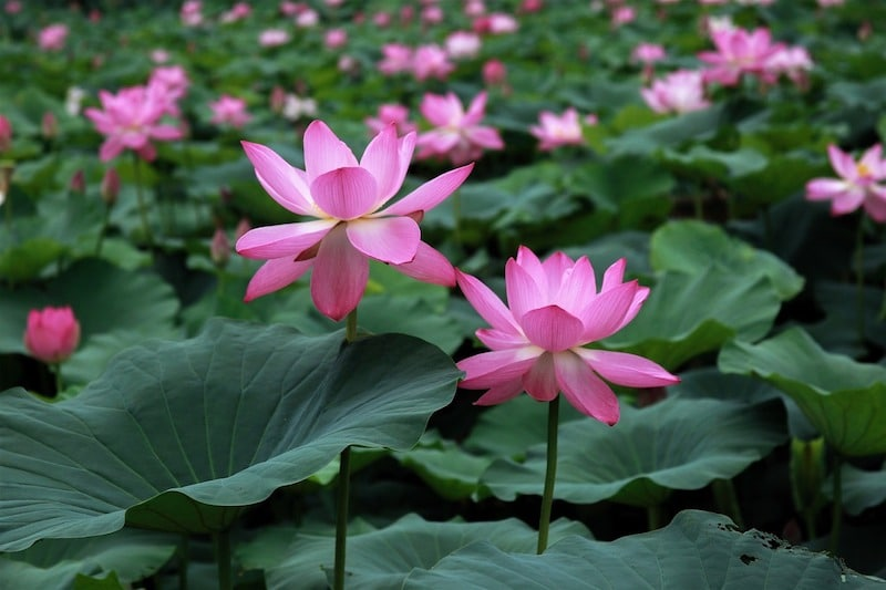 Celebrate the breathtaking bloom of echo parks floating flowers in asian cultures the lotus flower is a symbol of rebirth purity and life mightylinksfo