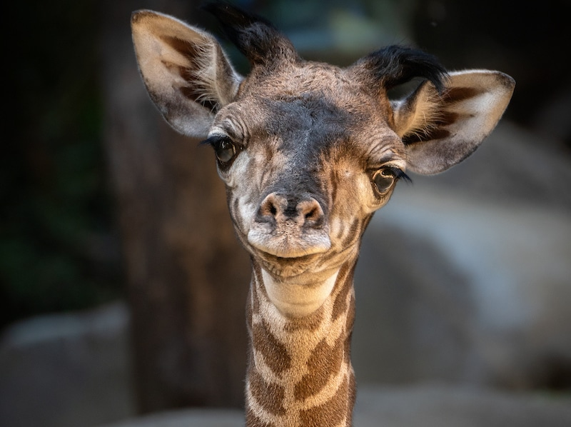 It's A Girl! The L.A. Zoo Welcomes A New Baby Giraffe