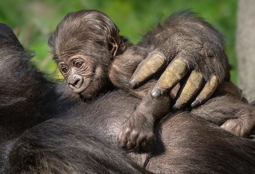 The L.A. Zoo Announced The Gender Of Its First Baby Gorilla In 20 Years!