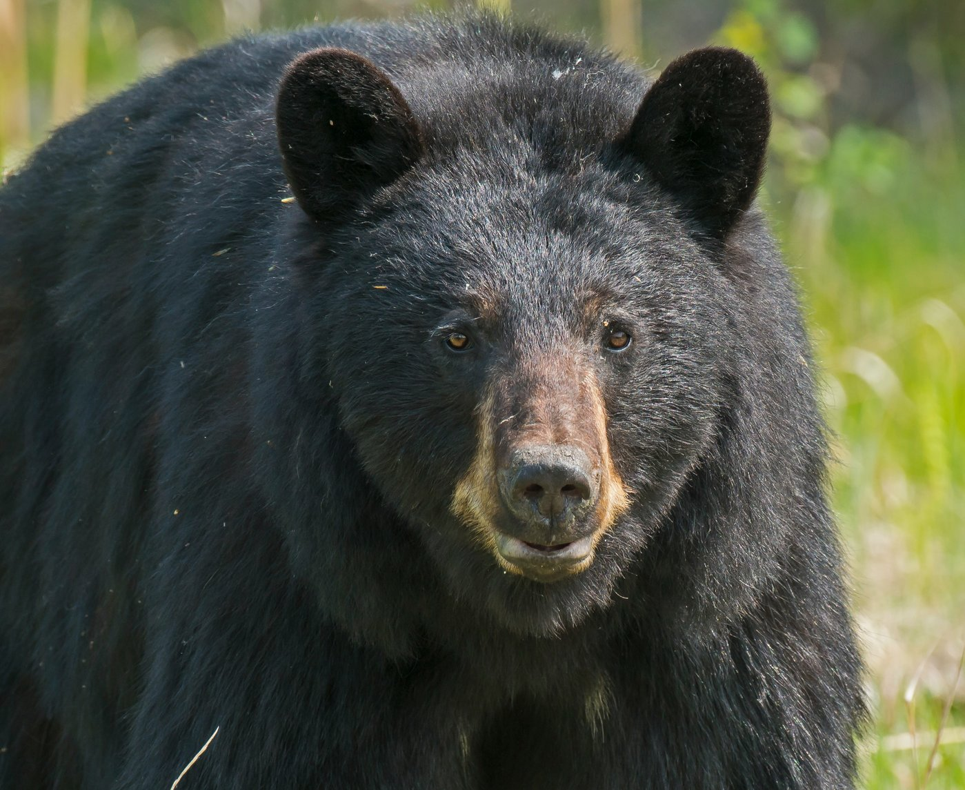 Yosemite Bears Are 'Having A Party' In The Closed National Park