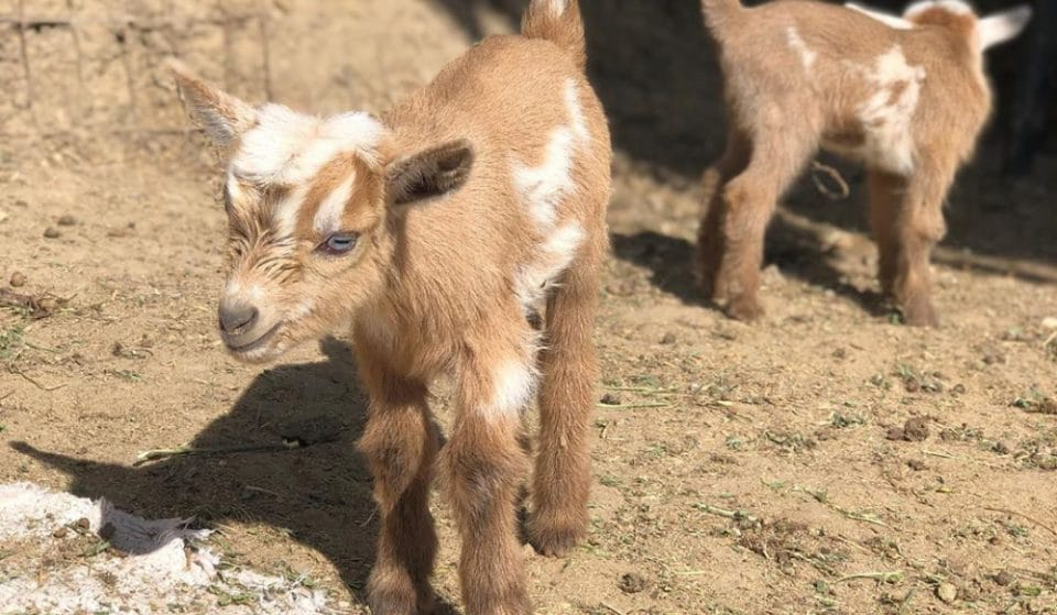 There's A Cheese-Making Class Happening And It Features Adorable Goats And Wine