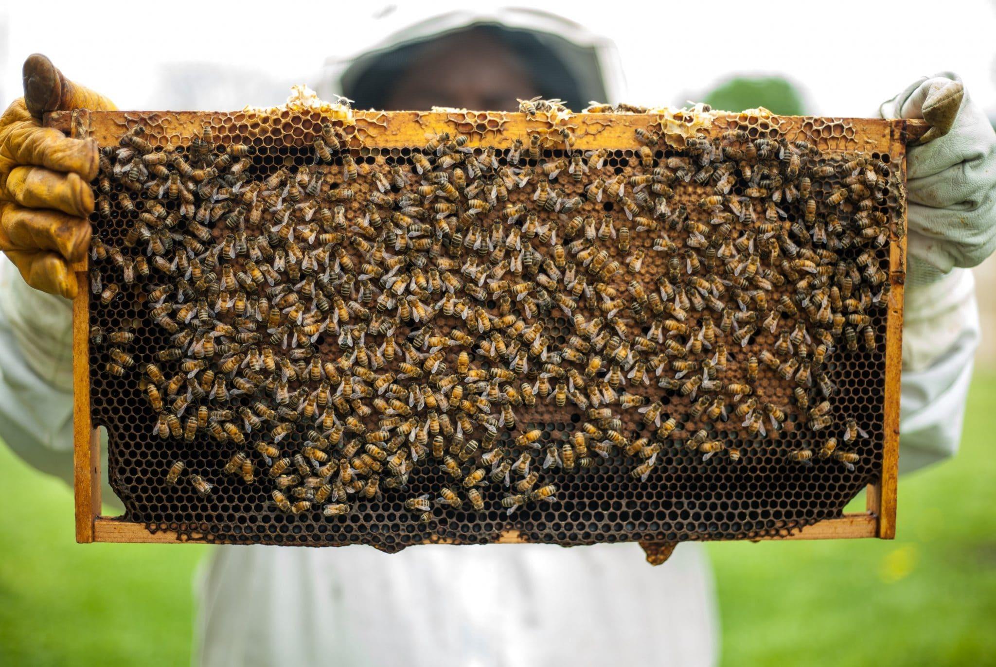us honeybees